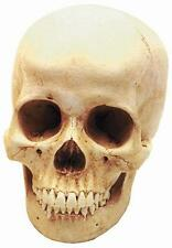 Homo sapiens Modern Human Adult Female Skull Detailed Replica with Display Stand