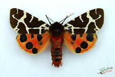 jardin TIGER MOTH Arctia boîte ensemble X1 mâle A1- English Papillon de nuit