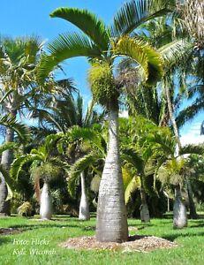 "BOTTLE PALM - HYOPHORBE LAGENICAULIS - plant - 20-25 cm(8"") - Live starter"