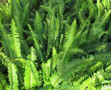 Australian Native Southern Sword Fern - Nephrolepis Cordifolia  - x 10 Plants