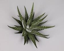 Haworthia Cactus & Succulent Plants