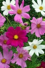 """Schmuckkörbchen """"Cosmos"""" Samen Sensation-Mischung Blumensamen"""
