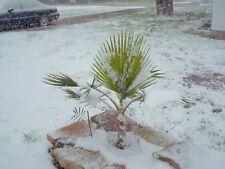 Sabal Minor Palmen winterharte Sukkulenten für den Garten Topfpflanzen Dekoidee