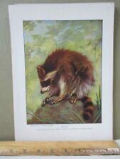 Vintage Print,Raccoon,Peoples Natural History Mammals+Birds,1903