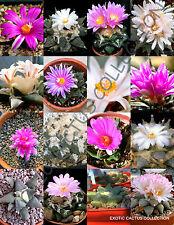 EXOTIC ARIOCARPUS VARIETY MIX living rock stone plant cactus seed cacti 10 SEEDS