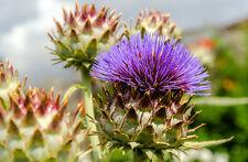 Saatgut exotische Pflanzen Samen Garten Sämereien Balkon Terrasse MARIENDISTEL