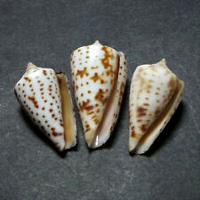 three specimens of Conus erythraeensis, 20-22mm