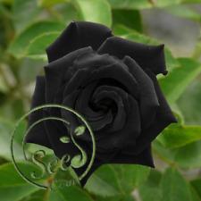 Seeds Black Rose Flower Mysterious Plants Beautiful Home Garden New Rare 100 Pcs