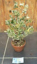 Crassula ovata  'variegata cm.48x32 +vaso/pot come da foto