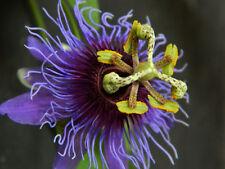 Passiflora amethystina Minas Gerais | 10_Seeds