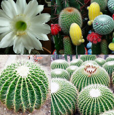 Beautiful Cactus Indoor Plant Seeds 20pcs Mixture Of Cactus Flower Color Plant