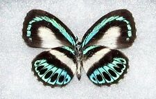 ONE REAL BUTTERFLY BLUE GREEN INDONESIAN DANIS PAPERED UNMOUNTED WINGS CLOSED