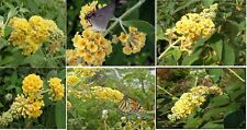Yellow Butterfly Bush called Honeycomb Perennial Flowered Bush 100 Seeds
