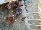 Rhode Island Reds 12 Hatching eggs. NPIP Certified