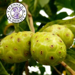 Rare Indian Mulberry Morinda citrifolia Noni 6 seeds UK SELLER