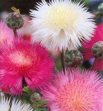 Flower Seeds Centaurea moshata imperials (Vasylek) Cornflower