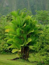 Pinanga Coronata Ivory Cane Palm 3 seeds