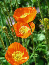 Iceland Poppy Seeds : Papaver nudicaule :Mixed Colours