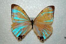 Morpho sulkowskyi,male,Peru,rare