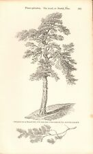 1844 - ANTIQUE BOTANICAL PRINT - THE WOOD OR SCOTCH PINE AT MUSWELL HILL