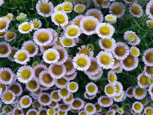 Erigeron Glaucus 'Sea Breeze' -Perennial Groundcover Daisy Plant in 9cm Pot
