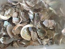 "ABALONE FRAGMENTS 1""-5"" MOP seashell decor craft jewelry mother of pearl 12lbs"