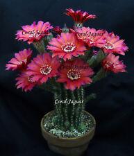 ROYAL RED Hybrid Cactus Trichocereus Kakteen Schick Echinopsis Lobivia