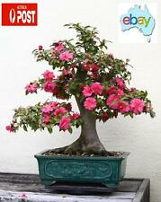 20 X CAMELLIA JAPONICA BONSAI / TREE SEEDS