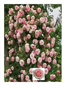 wild pink rose plants   3 plants  Free Shipping