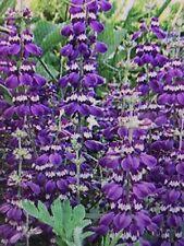 Chinese Houses Flower Seeds Packet 1 Gram Collinsia Heterophylla purple 2019 Usa