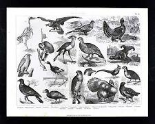 1874 Bilder Atlas Zoology Print - Birds - Hawk Falcon Vulture Turkey Grouse etc