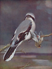 Great Grey Shrike & Gold Crested Wren 1930s Vintage Bird Print A.W. Seaby BB70