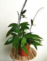 Hoya carnosa 'Publicalis', wax plant, House Plant in a 12cm