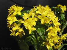 Deppea grandiflora Extremely Rare gorgeous golden flowers upright hardy tropical