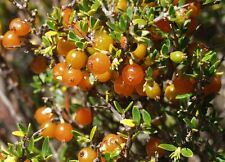 MOUNTAIN CURRANT,Coffee substitute,Coprosma nitida,bush tucker,jam,spice,herb
