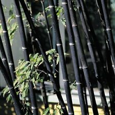 100+ Fresh Black Bamboo Seeds with Instructions - Phyllostachys Nigra (Hardy)
