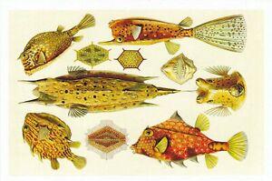1 NX13 Ostraciontes ( Trunkfishes ) NX13 EXOTIC MAGNIFICENT NAT  HibiscusExpress
