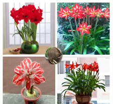 Red  Heart Lily Bulbs, Blue Lily Bulbs, Not Seeds, Rare Lily Flower Bonsai Plant