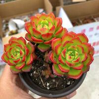 Succulent Live Plant -Echeveria Letizia 5cm(Gather Multiple)-Garden Lovely Plant