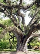 Quercus virginiana Live oak  florida native tree roble pre bonsai seed 50 seeds