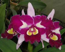 """BIN-Blc. Chinese Beauty """"Orchid Queen'"""" AM/AOS-Attractive! Nice! Cattleya Orchid"""