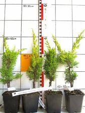 Juniperus chinensis Plumosa Aurea, gelber Mooswacholder