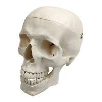 Human Skull Model Life Size Replica Adult Human Head Teaching Supplies White