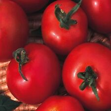 Tomato Moneymaker 120 seeds - Vegetable