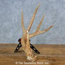 #15451 E | Whitetail Deer Taxidermy Antler Shed For Sale