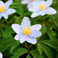 50 ENGLISH WOOD ANEMONE NEMOROSA IN THE GREEN | FRESHLY LIFTED | READY TO PLANT
