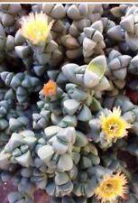X 4 Delosperma Lehmannii succulent plant Cuttings