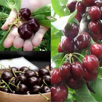 20 Pcs/Pack Garden Black Cherry Tree Rare Edible Fruit Sweet Flavor Prunus Seeds