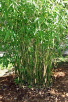 Bambusa multiplex - Green Hedge Bamboo  Clumping b