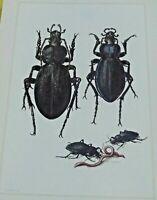 Artículo Escolar Lámina De Art Print Estampa Insecto N º 45 Procruste Chagriné,